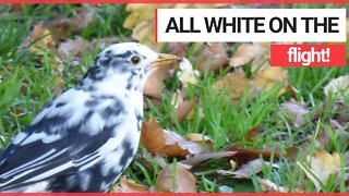 Twitcher stunned to spot rare WHITE blackbird near his home - Video