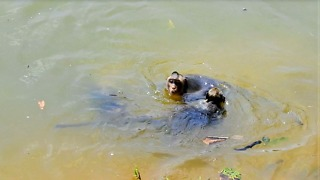 How Young Monkey Swimming In Water, They Like Play Water - Video