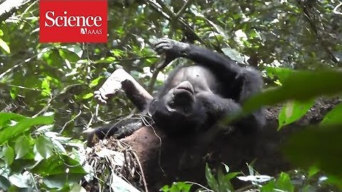 Chimpanzees, bonobos use gestures that have the same meaning