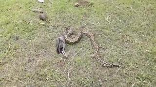 Python caught and forced to regurgitate rooster