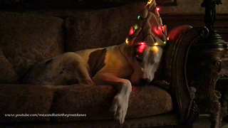 Deaf Great Dane Sleeps Through Getting Decorated for the Holidays  - Video