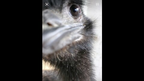 Inquisitive young emus at a zoo