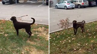 Puppy carrying tree branch can't contain his excitement