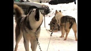 Big Baltic Dog Sled Race - Video