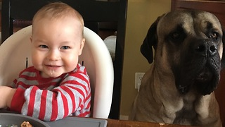 Baby preciously shares meal with English Mastiff - Video