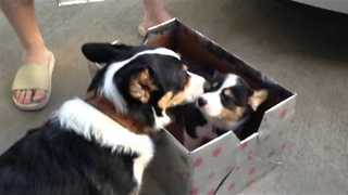 Welcoming Dog Meets New Member of the Family - Video