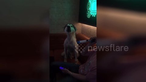 This husky howls to duet with his master's karaoke