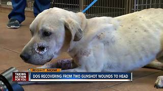 Dog recovering from two gunshot wounds to head - Video