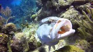 Grouper Swims With Mouth Open in Caribbean - Video