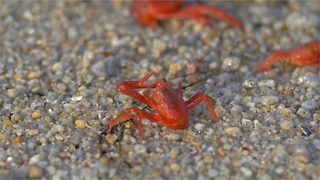 This video shows 15 seconds in the life of a tuna crab