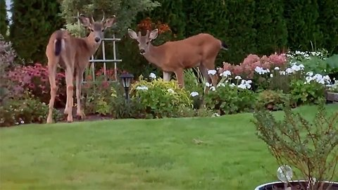 Herd of deer join family around backyard campfire