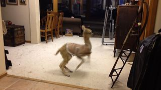 Baby Alpaca Joins A Feline Family - Video