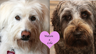 Labradoodle love story will brighten your day - Video