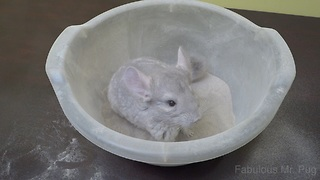 Rescued chinchilla enjoys dust bath