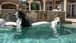Great Danes Chill out in the Pool with Awesome Hats  - Video