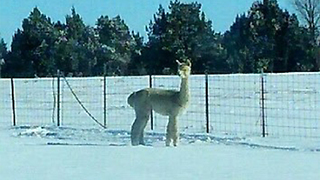 Lost alpaca looking for owner in Fremont County - Video