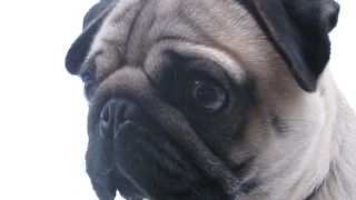 Cute Talking Pug Walks Owner  - Video