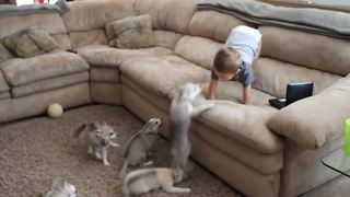 Alaskan Klee Kai puppies discover toddler - Video