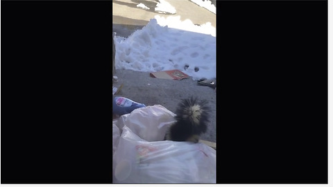 Naughty Skunk Loves Rummaging In The Garbage