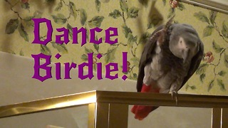 Einstein the Talking Texan Parrot performs Dance Birdie - Video