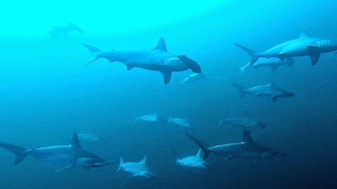 Diver swims in midst of hammerhead sharks