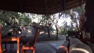 Lion Walks Right Through Safari Camp in Zambia - Video