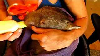 This Is How to Bottle-Feed a Wombat - Video