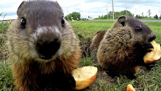 Baby gophers smack their lips adorably as they munch on apple slices