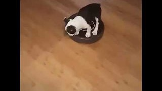 Puppy Goes For a Ride on Roomba - Video