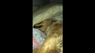 Exhausted Golden Retriever passed out on the bed