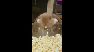 Cute Bunny Really Loves Popcorn - Video