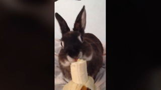 Mitchi the bunny tries a banana! - Video