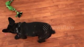 French bulldog goes crazy over laser pointer - Video