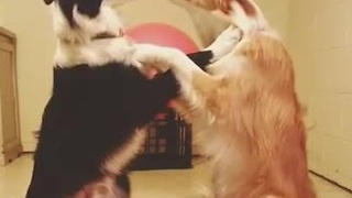 Border collies share loving moment - Video