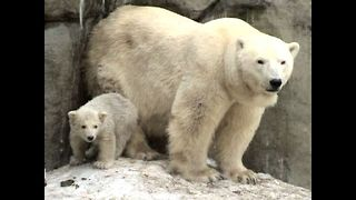 Polar Bear Triplets - Video