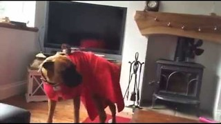 Gentle Dog Perturbed to Find a Little Bird on His Back - Video