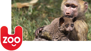Baboon Adopts a Bushbaby - Video