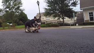 Talented Corgi is a skateboarding machine! - Video
