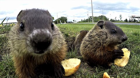 Adorable groundhog babies share apple slices in the sunshine