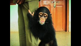 Man Adopts Baby Chimpanzee - Video