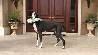 Great Dane enjoys her newspaper delivery job - Video
