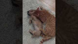 Playful Puppy and Kitten are Best Friends - Video