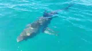Great White Shark Pays A Visit To Cage Divers - Video