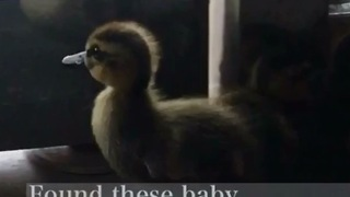 Ducklings trapped in building reunited with mother - Video