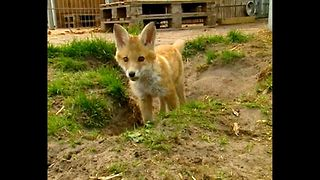 Guy Lives With Baby Fox - Video
