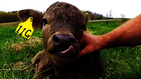 Adorable newborn calf thoroughly enjoys face massage