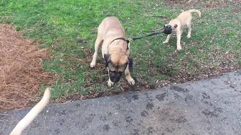 "English Mastiff ""allows"" puppy to walk him on leash"