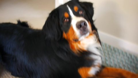 Bernese Mountain Dog goes nuts for vacuum cleaner