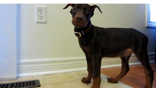 First day home with ADORABLE 10-week old DOBERMAN PUPPY  - Video