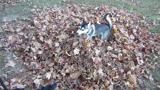 Ecstatic puppy jumping in a leaf pile - Video